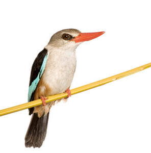 Woodland Kingfisher - Halcyon senegalensis in front of a white background.